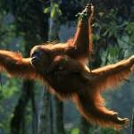 les-orangs-outans-premieres-victimes-de-l-huile-de-palme_reference