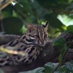 Chat léopard du Bengale (Prionailurus bengalensis bengalensis), observé au Cambodge