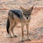 Chacal à chabraque, Black-backed Jackal, Canis mesomelas