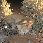 Chat des sables, Sand cat, Felis margarita