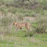 Chat sauvage d'Afrique australe, South African wildcat, Felis sylvestris cafra