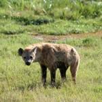 Hyène tachetée, Spotted Hyena, Crocuta crocuta