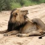 Lion d'Afrique, African lion, Panthera leo
