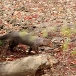 Mangouste roussâtre, Ruddy Mongoose, Herpestes smithii