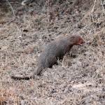 Mangouste roussâtre, Ruddy Mongoose, Herpestes smithii.jpg