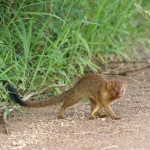 Mangouste svelte, Slender Mongoose, Herpestes sanguineus