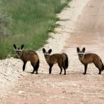 Otocyons, Bat-eared Foxes, Otocyon megalotis