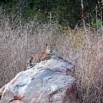 Panthère du Sri Lanka, Sri Lankan Leopard, Panthera pardus kotiya