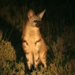 Protèle, Aardwolf, Proteles cristata