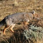 Renard gris de Patagonie, South American gray fox, Lycalopex griseus