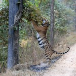 Tigre du Bengale, Bengale Tiger, Panthera tigris tigris