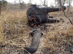 In this February 2012 photo released by Boubandjida Safari Lodge, the carcass of an elephant slaughtered by poachers is seen in Boubou Ndjida National Park, located in Cameroon, near the border with Chad. Poachers have slaughtered at least 200 elephants in the past five weeks in a patch of Africa where they are more dangerously endangered than anywhere else on Earth, wildlife activists said Thursday, Feb. 16, 2012. (AP Photo/ Boubandjida Safari Lodge)
