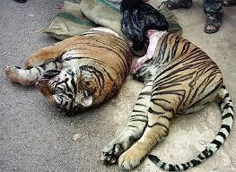 braco_tigre