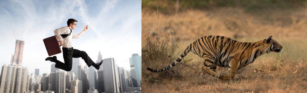 Tigre du Bengale au Parc National de Kanha, Inde © Thomas Vijayan
